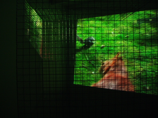 Installation cage and video red squirrel
